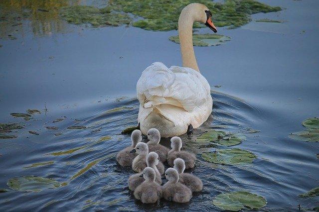 swans hollis gardens Lakeland, Florida